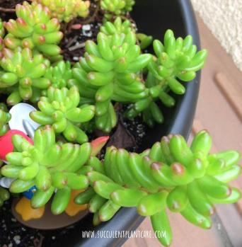 Sedum Rubrotinctum 'Jelly Beans, Pork and Beans'