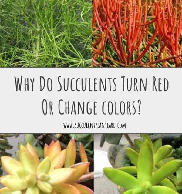 Why Do Succulents Turn Red Or Change Colors?