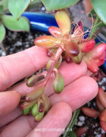 Sedum Rubrotinctum 'Jelly Bean Plant' stretching and growing roots