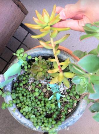 Sedum nussbaumerianum 'Coppertone stonecrop' stretching from lack of sunlight