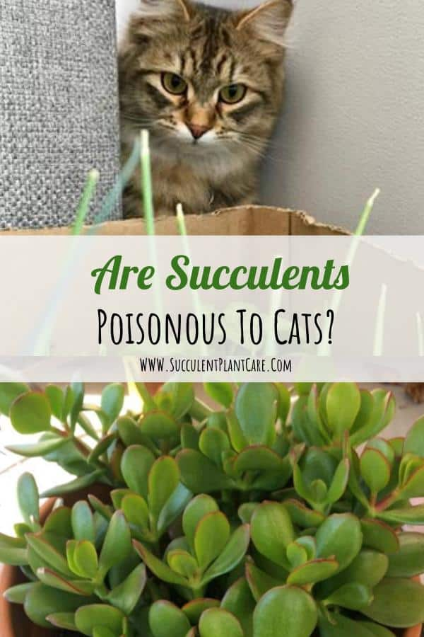 Are Succulents Poisonous to Cats? How to Keep Cats Away