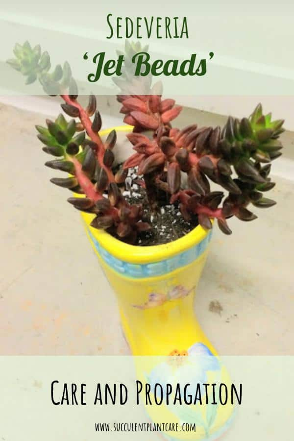 Sedeveria 'Jet Beads' in a yellow boot planter