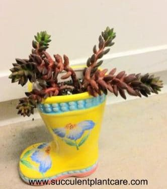 Sedeveria 'Jet Beads' Care, Propagation and Growing Tips
