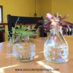Water Therapy for Succulents? Can Succulents Live in Water?