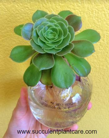 Aeonium stem soaking in water