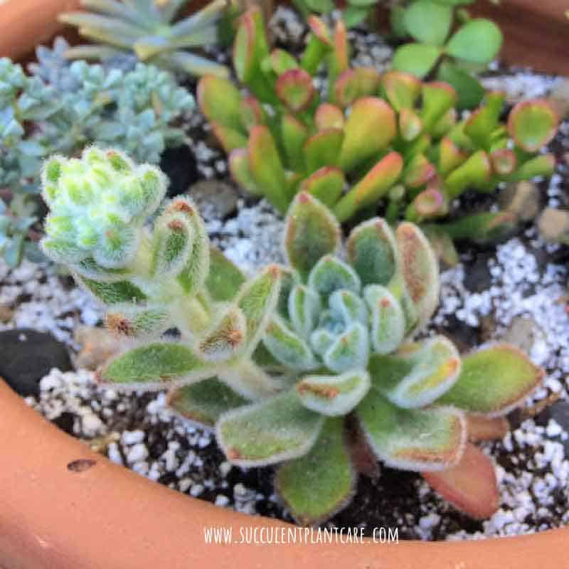 Echeveria 'Doris Day' getting ready to bloom