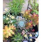 Graptopetalum Paraguayense-Ghost Plant Care and Propagation