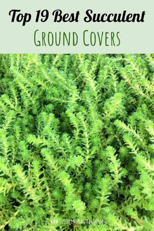 Top 19 Best Succulent Ground Covers Succulent Plants And Care