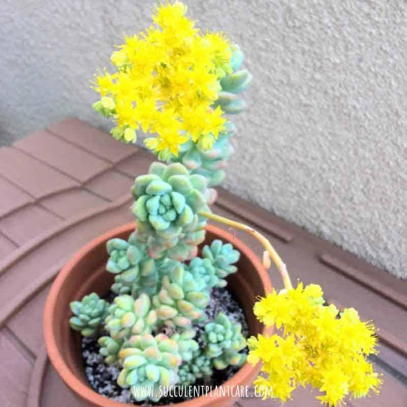 Sedum Treleasei in bloom with bright yellow flowers