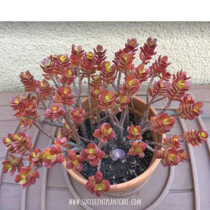 Crassula Ovata 'Crosby's Dwarf' with red leaves