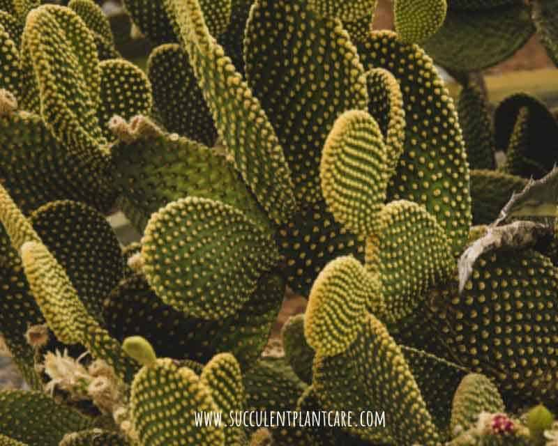 Opuntia Microdasys 'Bunny Ears' Care and Propagation