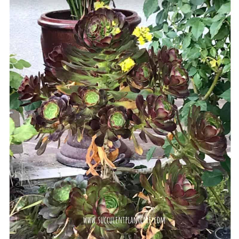 Aeonium Arboreum Electra (Purple Pinwheel Aeonium)