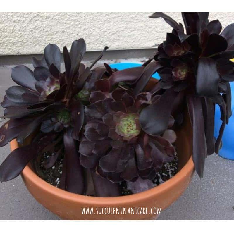 Aeonium Arboreum Zwartkop-Black Rose with deep purple leaves
