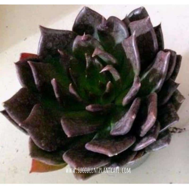 Echeveria 'Black Prince' with deep purple, almost black leaves