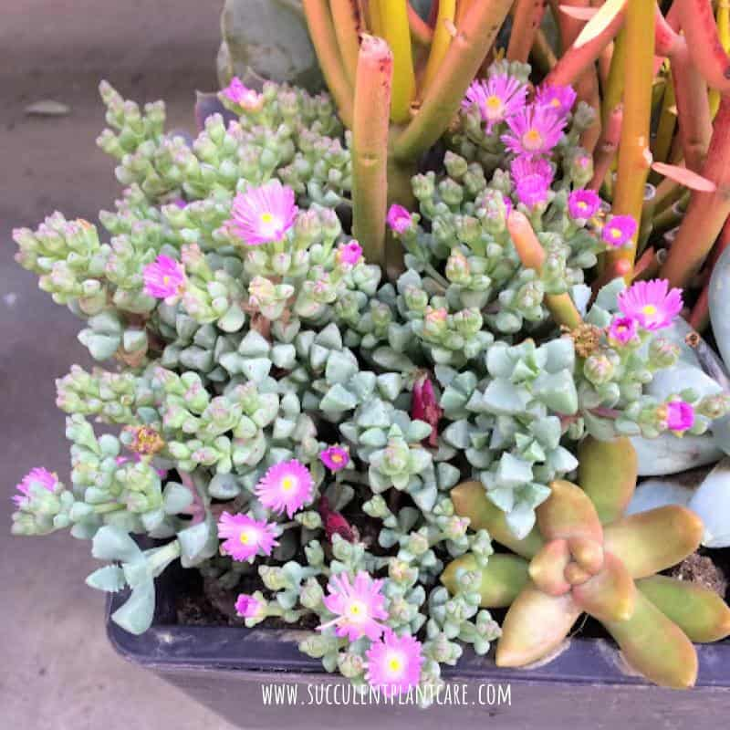 Oscularia Deltoides-Pink Ice Plant in bloom with bright magenta flowers