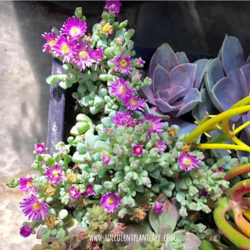 Oscularia Deltoides-Pink Ice Plant in bloom with magenta flowers