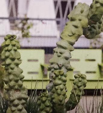 Pachycereus Schottii Monstrosus 'Totem Pole Cactus' Care Guide