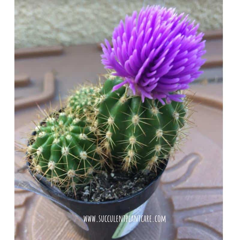 Do Stores Glue Fake Flowers On Cactus Why And What To Do