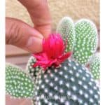 Do Stores Glue Fake Flowers On Cactus? Why and What To Do
