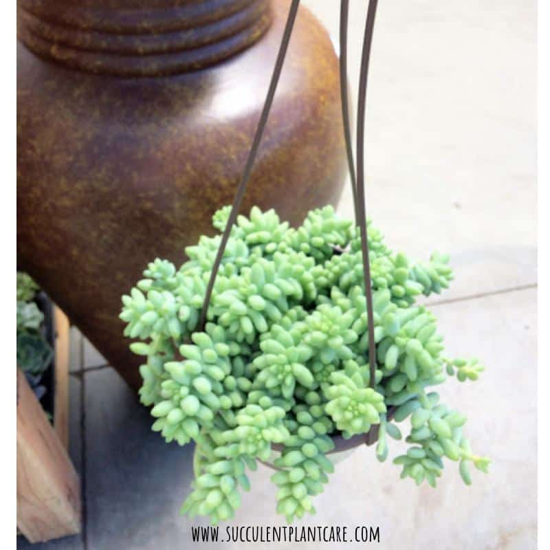 Sedum Morganianum-Donkey's in a hanging planter