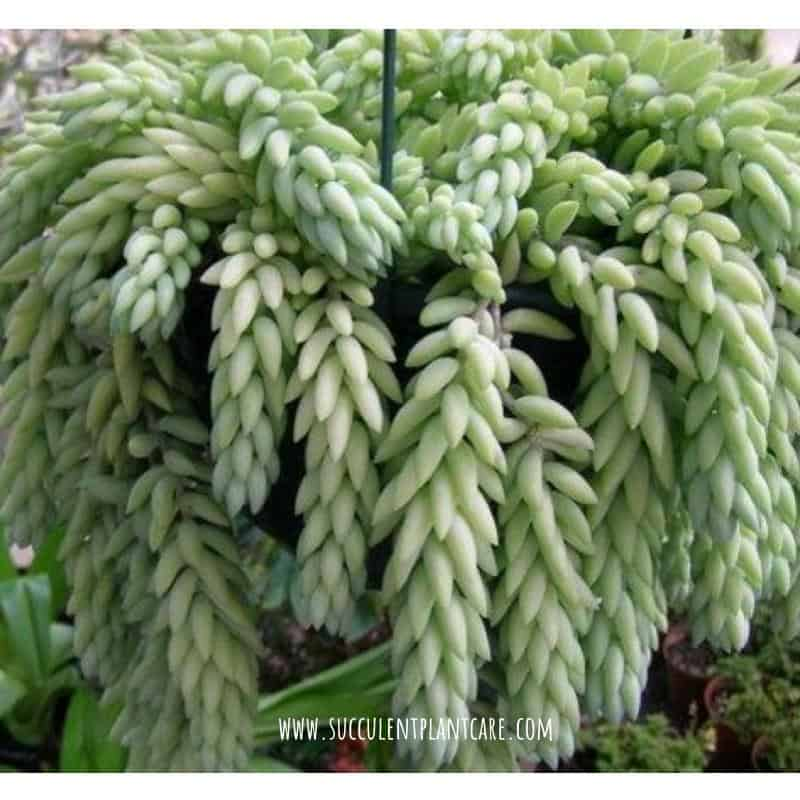 Sedum Morganianum-Donkey's Tail with lime green foliage