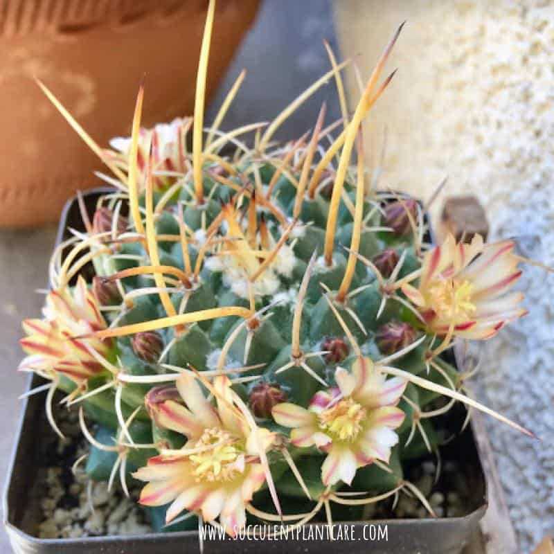 Mammillaria Nejapensis-Silver Arrows in bloom with light yellow, cream and striped burgundy flowers