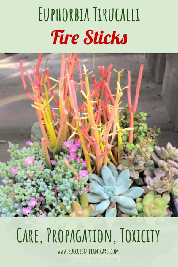 Euphorbia Tirucalli-Firesticks with red-orange pencil-thin stems in a succulent arrangement