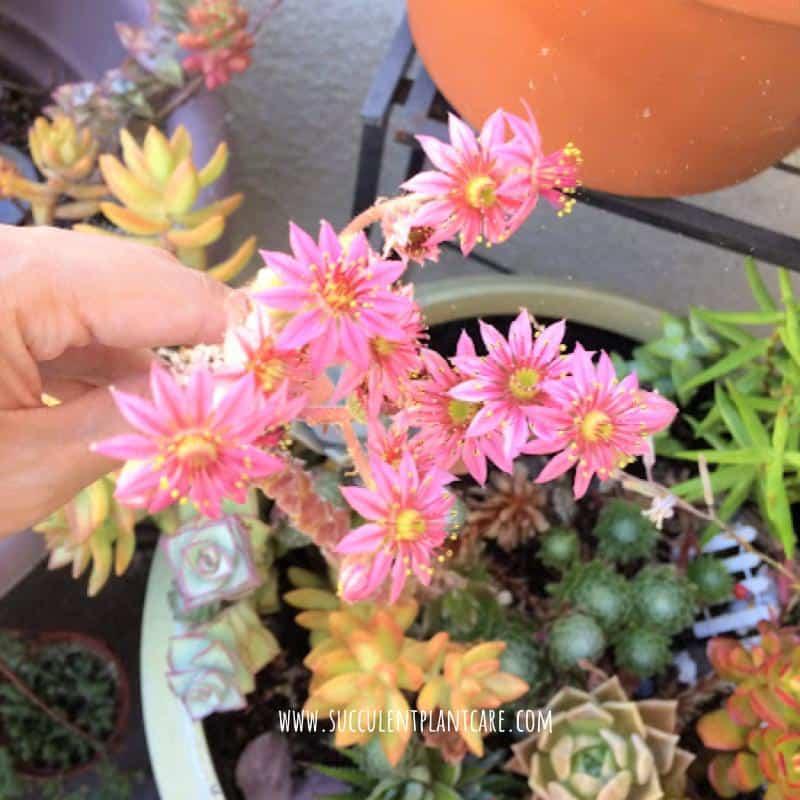 Sempervivum Arachnoideum-Cobweb Hens and Chicks with monocarpic bright magenta blooms