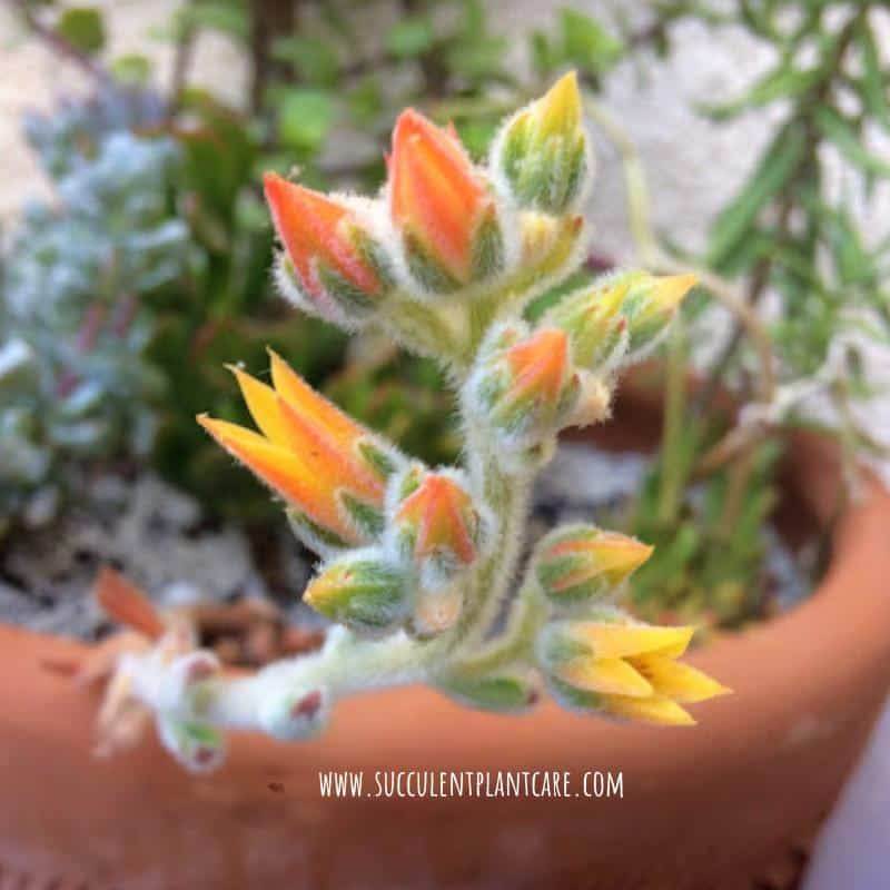 Echeveria Doris Taylor with bright orange flowers