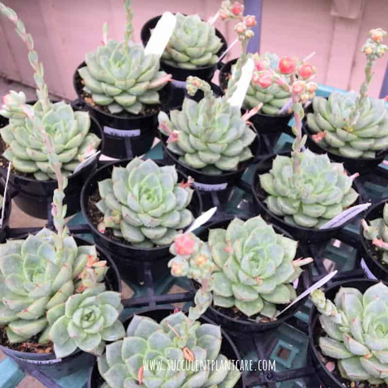 Echeveria Elegans-Mexican Snowball with bell shaped coral flowers