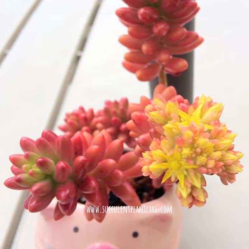 Sedum Rubrotinctum-Jelly Bean Plant with bright yellow flowers